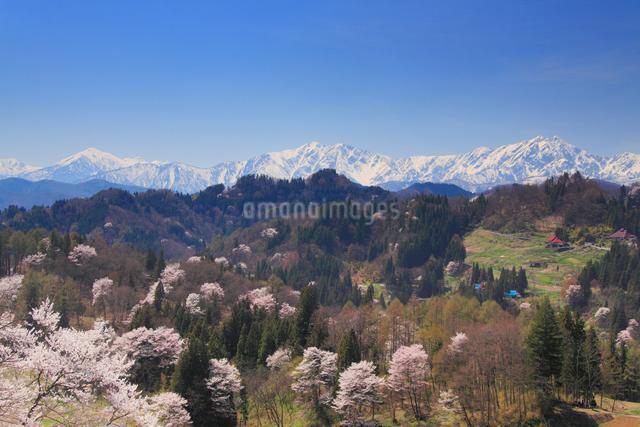山桜と蓮華岳と爺ヶ岳と鹿島槍ヶ岳の写真素材 [FYI01514124]