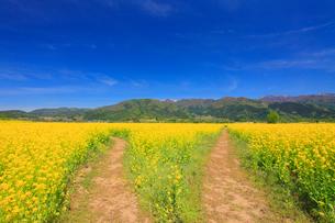菜の花畑と分かれ道と毛無山と城蔵山の写真素材 [FYI01514210]