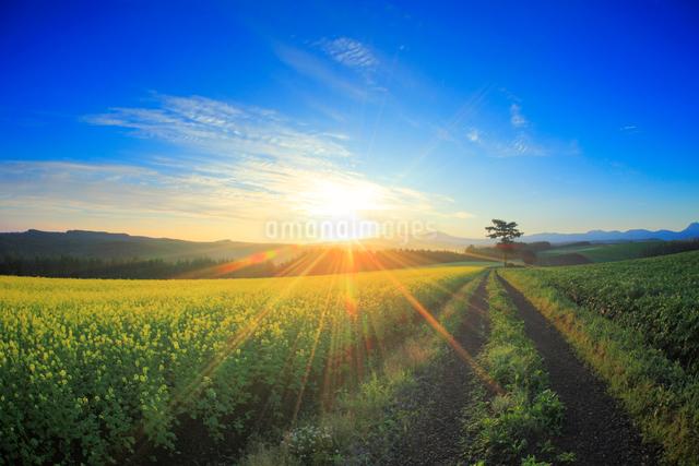 菜の花畑と道路と木立と大雪山と朝日の光芒の写真素材 [FYI01514211]