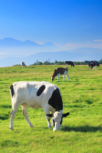 ホルスタインとジャージー牛と富士山の写真素材 [FYI01514426]
