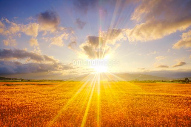 小麦畑と朝日の光芒の写真素材 [FYI01514467]