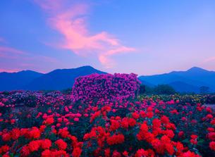 かがやきなど咲くバラ園と夕焼け雲の写真素材 [FYI01514473]