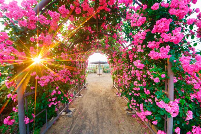 バラのアーチと夕日の木もれ日の写真素材 [FYI01514487]