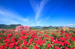 かがやきなど咲くバラ園とすじ雲の写真素材 [FYI01514534]