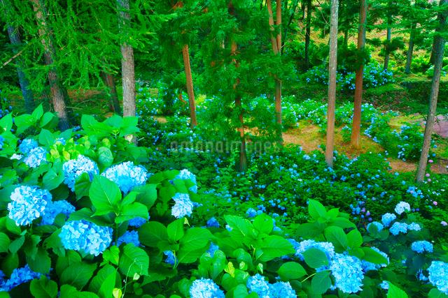 紫陽花とカラマツ林の写真素材 [FYI01514542]