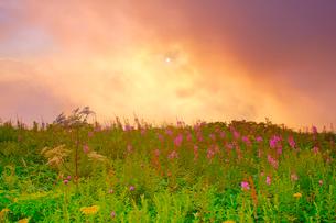 思い出の丘のヤナギランとシシウドと雲間の夕日の写真素材 [FYI01514800]