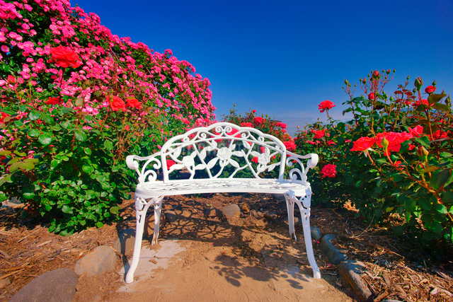 ベンチとバラ園の写真素材 [FYI01514857]