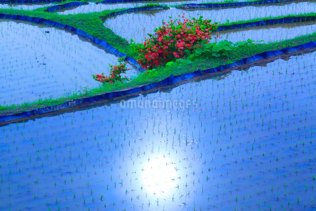ツツジと田毎の月のおばすて棚田と朝の太陽の反射の写真素材 [FYI01514957]