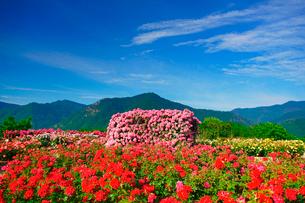 かがやきなど咲くバラ園の写真素材 [FYI01514979]