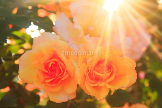 サハラ'98と夕日の木もれ日の写真素材 [FYI01514986]