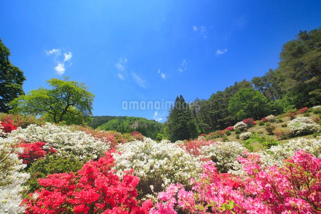 ツツジと女神岳と新緑の木立の写真素材 [FYI01515033]