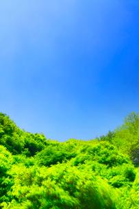 風に揺れる新緑のモミジ林の写真素材 [FYI01515054]