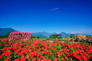 かがやきなど咲くバラ園と飛行機雲の写真素材 [FYI01515114]