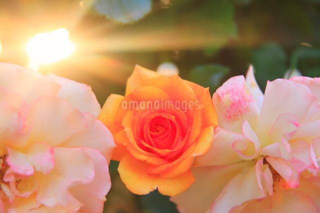 サハラ'98と夕日の木もれ日の写真素材 [FYI01515116]