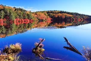 紅葉の水鏡の白駒池と水辺の木の写真素材 [FYI01515284]