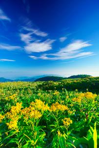 アキノキリンソウと白馬岳など北アルプスの山並みの写真素材 [FYI01515409]