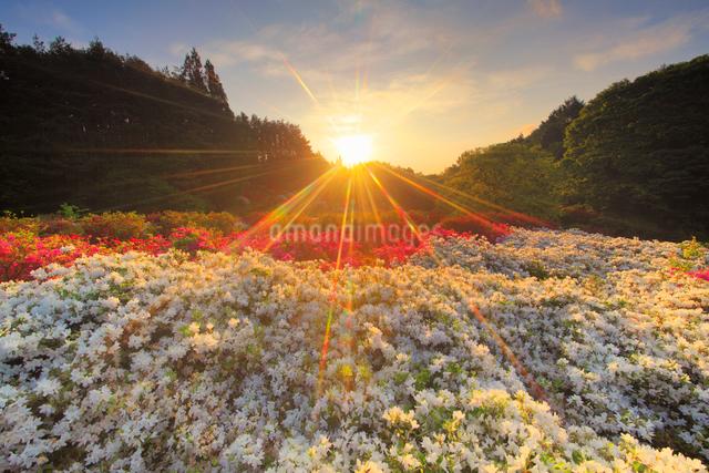 ツツジと朝日の光芒の写真素材 [FYI01515435]