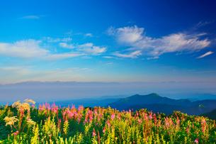 朝のヤナギランとシシウドと穂高連峰と槍ヶ岳などの山並みの写真素材 [FYI01515519]