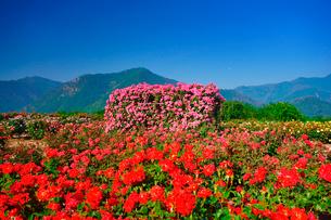 かがやきなど咲くバラ園と月の写真素材 [FYI01515545]