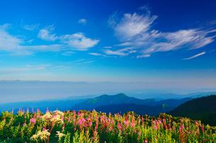 朝のヤナギランとシシウドと白馬岳など北アルプスの山並みの写真素材 [FYI01515567]