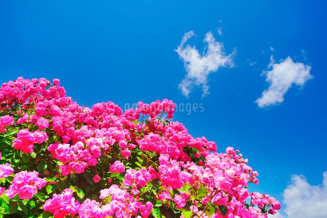 バラとわた雲の写真素材 [FYI01515568]