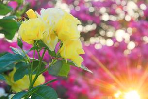 バラと夕日の木もれ日の写真素材 [FYI01515623]