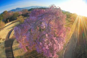 栄尚しだれ桜と朝日,魚眼レンズの写真素材 [FYI01515667]