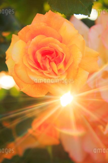 サハラ'98と夕日の木もれ日の写真素材 [FYI01515817]