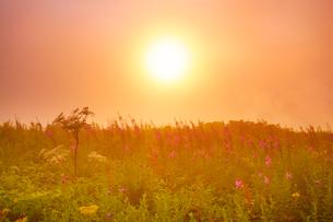 思い出の丘のヤナギランとシシウドと夕日と夕霧の写真素材 [FYI01515873]