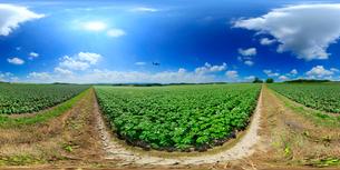 花咲くジャガイモ畑と旭川空港に向かう飛行機のVRパノラマの写真素材 [FYI01515905]
