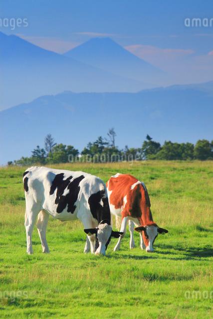 ホルスタインとジャージー牛のペアと富士山の写真素材 [FYI01515931]