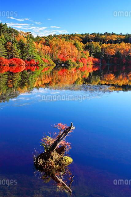 紅葉の水鏡の白駒池と水辺の木の写真素材 [FYI01515985]