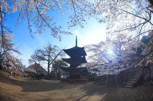 前山寺三重塔とソメイヨシノと朝の木もれ日の写真素材 [FYI01516062]