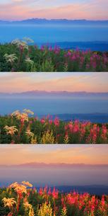 朝日に染まるヤナギランとシシウドと穂高連峰と槍ヶ岳の山並みの写真素材 [FYI01516181]