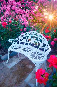 ベンチとバラと夕日の木もれ日の写真素材 [FYI01516272]