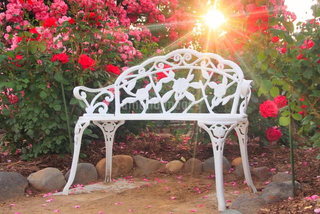 ベンチとバラと夕日の木もれ日の写真素材 [FYI01516365]