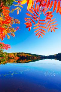 紅葉の水鏡の白駒池とナナカマドの写真素材 [FYI01516433]
