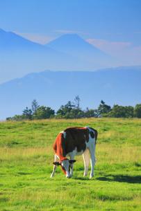 ジャージー牛と富士山の写真素材 [FYI01516525]