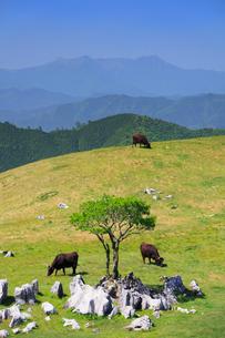 四国カルスト姫鶴牧場の石灰岩群と黒毛和牛と木立と石鎚山遠望の写真素材 [FYI01516734]