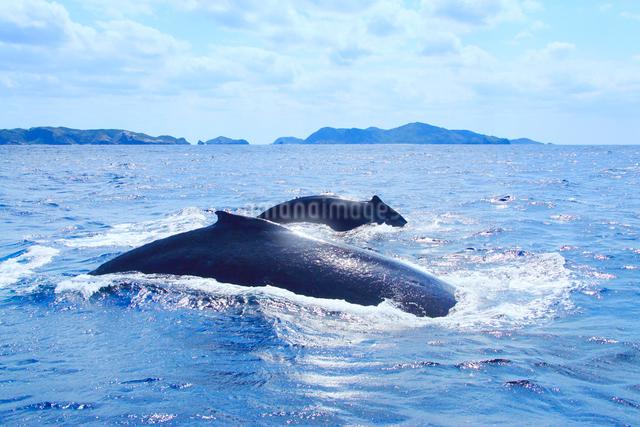 ザトウクジラのペアと阿嘉島など慶良間諸島の写真素材 [FYI01516754]