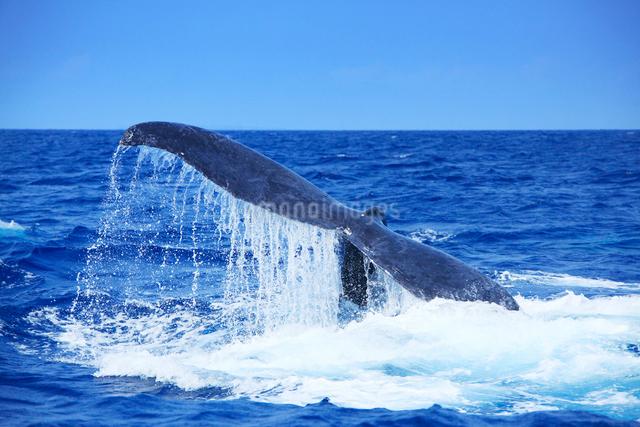 ザトウクジラのプルークアップダイブの写真素材 [FYI01516780]