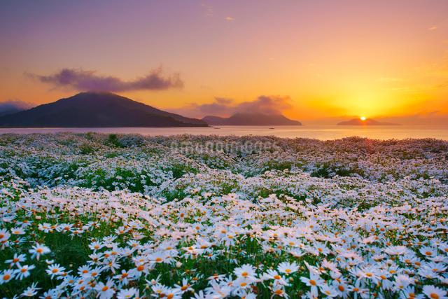 マーガレットの花畑と朝日と粟島の城山の写真素材 [FYI01516897]