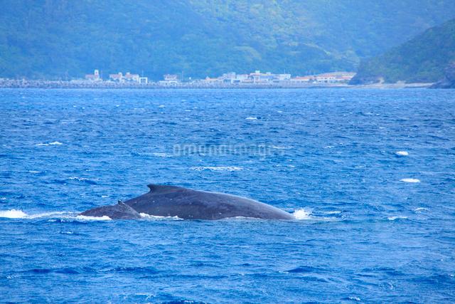 ザトウクジラの親子と座間味港遠望の写真素材 [FYI01516908]