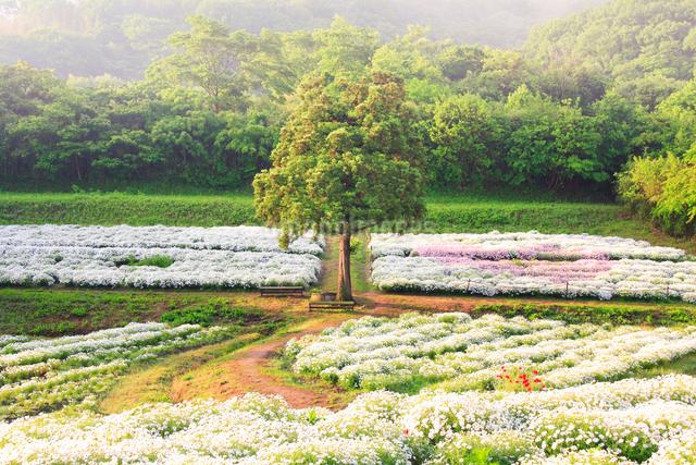 マーガレットの花畑と木立と朝霧の写真素材 [FYI01516941]