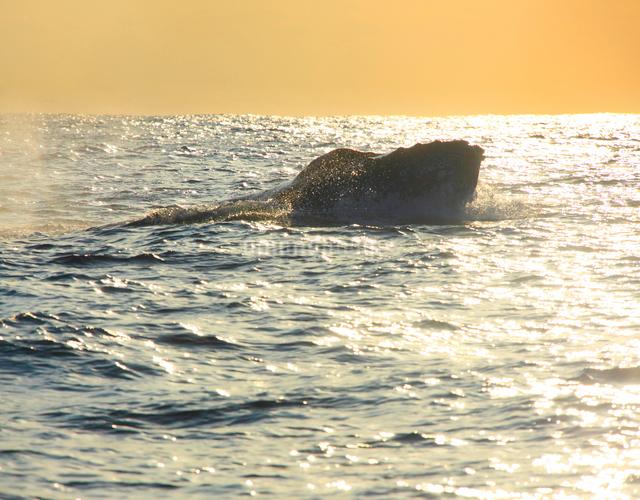 ザトウクジラと輝く海の夕景の写真素材 [FYI01516974]