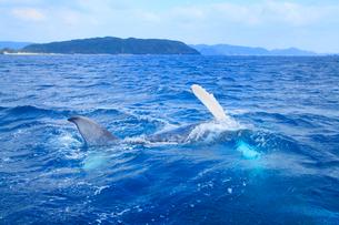 ザトウクジラの背泳ぎの写真素材 [FYI01517028]