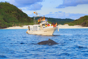 ザトウクジラとホエールウォッチング船の写真素材 [FYI01517059]