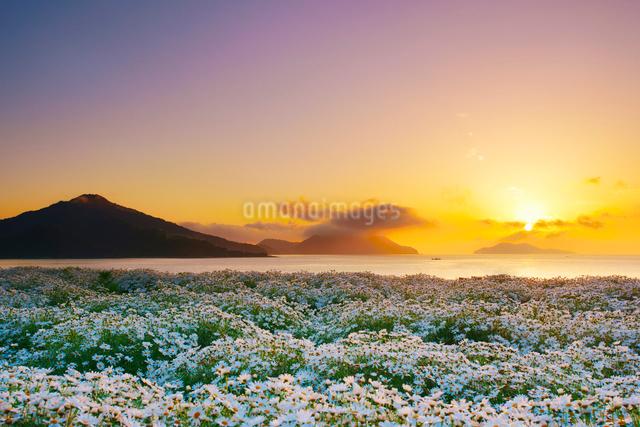 マーガレットの花畑と朝日と粟島の城山の写真素材 [FYI01517107]