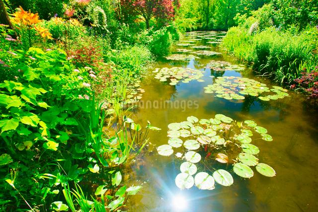水の庭のスイレンと輝く水面の写真素材 [FYI01517118]
