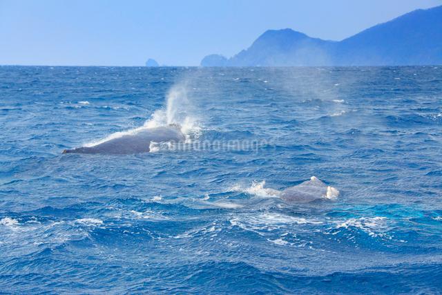 ザトウクジラのペアと座間味島の写真素材 [FYI01517178]